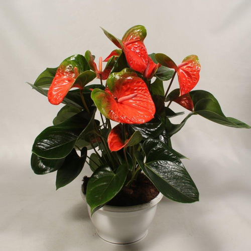 P23 Flamingo Orange schaal